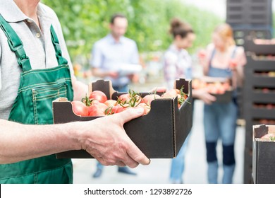 Farmer holding tomatoes in crate with coworkers in background