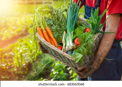 Farmer holding wicker basket with fresh organic vegetables