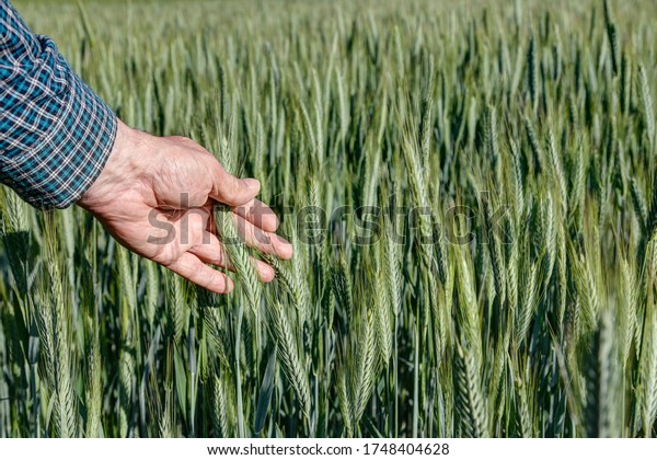 Farmer holds an ear of wheat in his hand and checks the ripeness. If the cereal grains are still greenish-yellow in color, then it is still too early for the harvest.