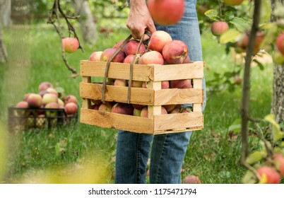 Farmer holds fresh apple harvest  in a wooden garden box. Organic farming harvest gathering on a farm concept