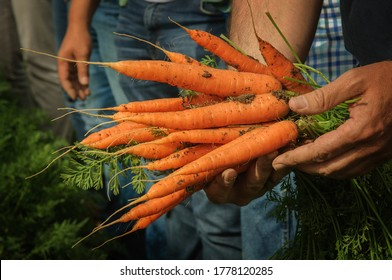Farmer holds fresh orange harvested carrots in his hands. Carrot yielding process.