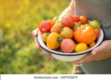 Farmer holds harvest of fresh tomatoes of different color in a field. harvesting season of vegetables.