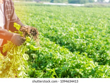 farmer holds in his hands a bush of young yellow potatoes, harvesting, seasonal work in the field, fresh vegetables, agro-culture, farming, close-up, good harvest, detox, vegetarian food