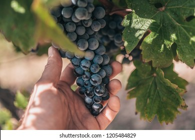 A farmer holds a large, heavy bunch of grapes in the vineyards of Provence - the grape industry in France