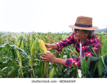 Farmer inspect quality of corn, background white sky