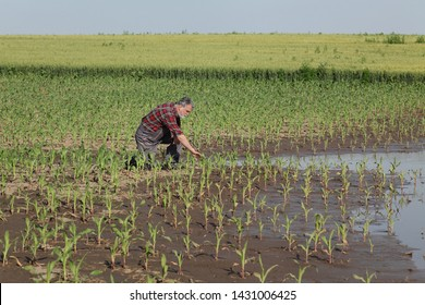 Farmer  inspect young green corn plants in mud and water, damaged  field after flood, agriculture in spring