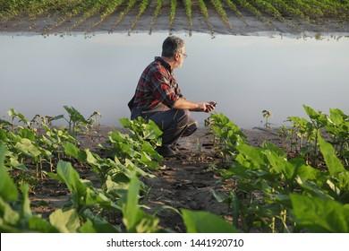 Bauer inspizieren junge grüne Sonnenblumenpflanzen in Schlamm und Wasser und tippen auf Handy, beschädigtes Feld nach Überschwemmungen