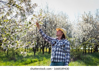 Farmer inspecting blooming fruit tree in orchard at spring. Cherry tree in bloom. Gardening and agriculture concept