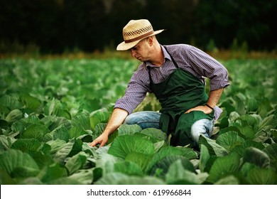 farmer inspecting cabbage harvest