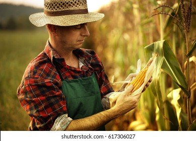 farmer inspecting corn cob at his field