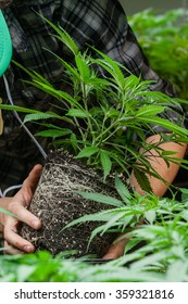 farmer inspecting his marijuana plant
