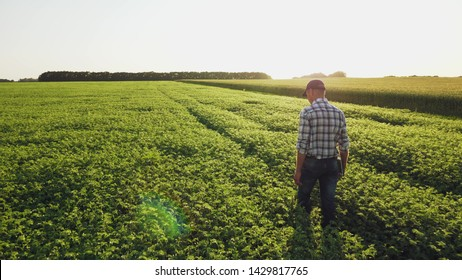 Farmer inspects chickpea growth walking through the field. Fresh green chickpeas field. Digital tablet in man's hand. Rear view