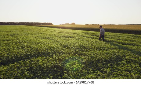Farmer inspects chickpea growth walking through the field. Fresh green chickpeas field at sunset. Rear view, wide angle