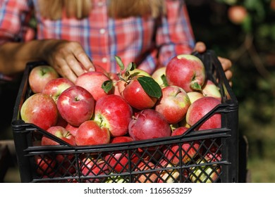 Farmer inspects the fruit after harvest. A box full of ripe apples