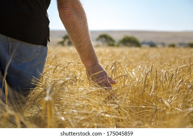 Farmer inspects ripe wheat field