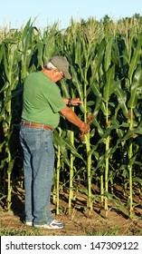Farmer inspects what appears to be a bumper crop of corn for this year's harvest