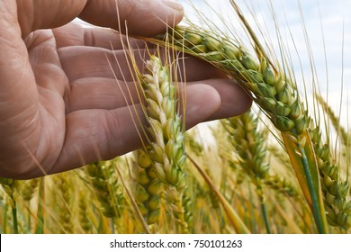 A Farmer Inspests Winter Wheat before Harvest