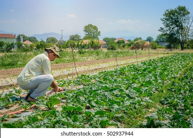 Farmer irrigation fields of cabbage in vegetable garden