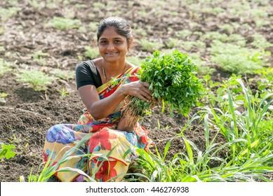 Farmer lady plucking Fenugreek vegetable in the farm, rural people daily lifestyle, Salunkwadi, Ambajogai, Beed, Maharashtra, India, Southeast Asia.