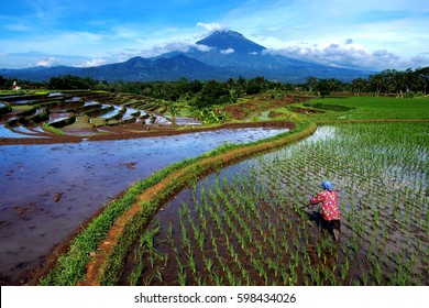 Farmer and landscape rice field in magelang, central java, indonesia