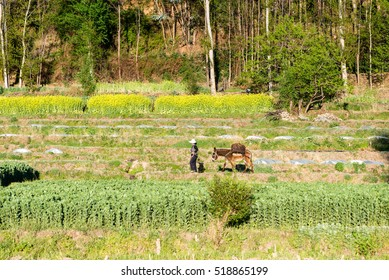 Farmer leading her donkey to the field in rice terraces