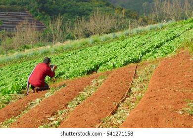 farmer in lettuce field