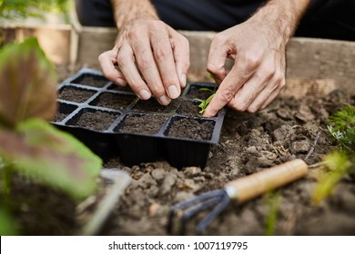 Farmer life. Gardener planting young seedlings of parsley in vegetable garden. Close up of man hands working in garden, planting seeds, watering plants.