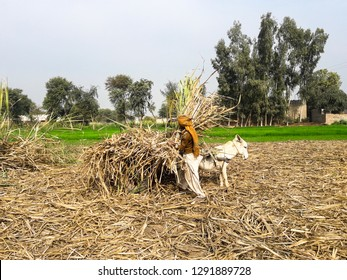 A farmer is loading the sugarcane on the donkey cart
