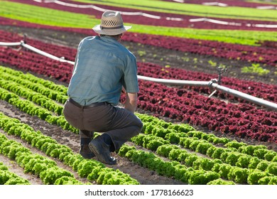 Farmer looking at a big field of lettuce with soil irrigation system - sort of lettuce -  lollo rosso and lollo bionda