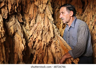 Farmer looks and controls dry tobacco leaf in the dryer