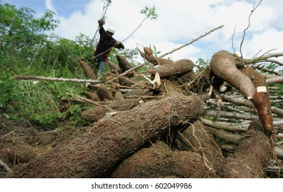 Farmer makes cassava harvest in the Cologne district in the municipality of Euna¡polis, Brazil. The root is used in the production of flour - Apr. 28, 2011.