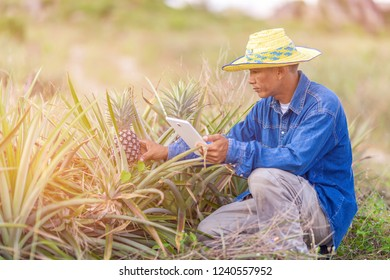 Farmer man read or analysis a report of pineapple in plantation farm on tablet computer,agriculture concept.