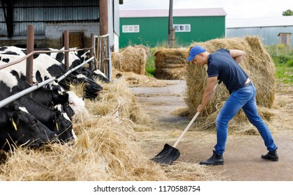farmer man running shovel on farm of cows