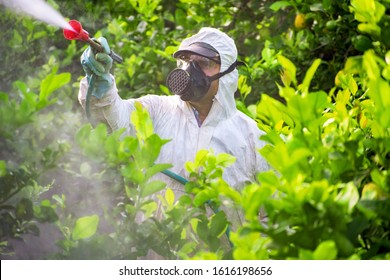 Farmer man spraying fumigating pesti, pest control. Weed insecticide fumigation. Organic ecological agriculture. Spray pesticides, pesticide on fruit lemon in growing agricultural plantation, Spain.