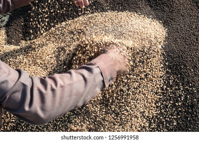 A farmer is mixing the wheat seeds in the granular fertilizer
