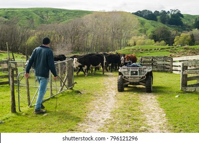 A farmer moves cattle to a different paddock with his motorbike through gates on a farm in the Wairarapa in New Zealand