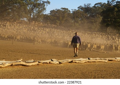 Farmer moving sheep in a large yard