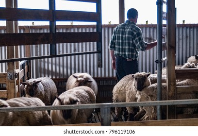 A farmer moving sheep in a wool shed pen before shearing on a sheep farm in the Wairarapa in New Zealand
