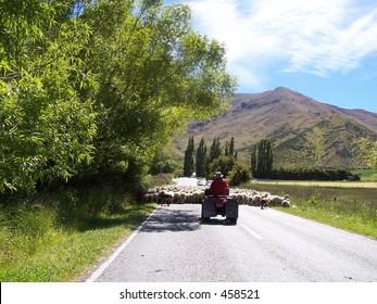 Farmer on bike herding sheep