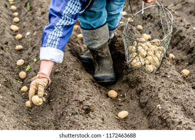 Farmer on field planting potato seeds, organic farming, seasonal work on field