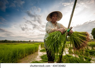 farmer on green fields cutting rice baby. Prepare for padding.
