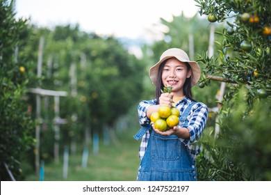 Farmer orange lady,The gardeners are collecting orange,Orange Garden.