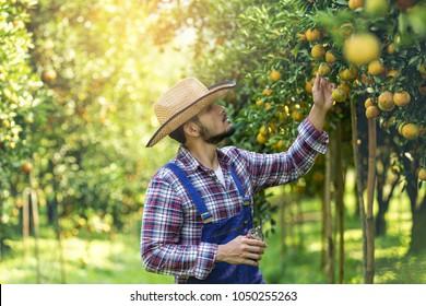 Farmer orange ,The gardeners are collecting orange, Orange Garden.