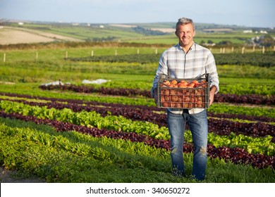 Farmer With Organic Tomato Crop On Farm