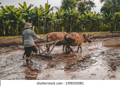 farmer with oxcart in rice fields, Bali Indonesia. Men plowing the land with ox plow