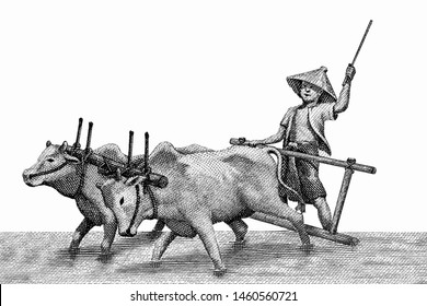 Farmer with oxen, planting rice. Portrait from Myanmar 50 Kyats Banknotes.