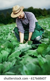 farmer picking cabbage plants