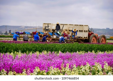 Farmer picking flowers in the field, Lompoc, California