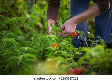 Farmer picking fresh chili pepers from garden