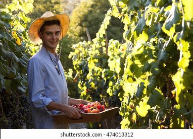 farmer picking grapes in the vineyard, vintage